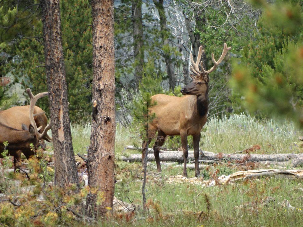 Elk, 2018.