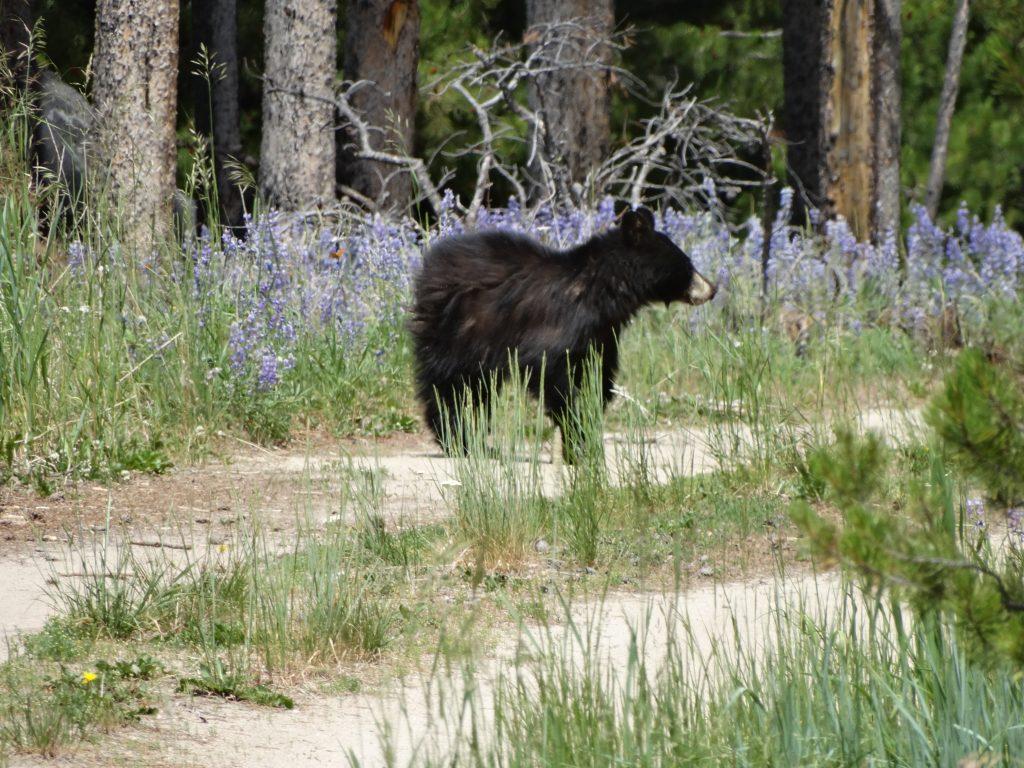 Black bear, 2016.