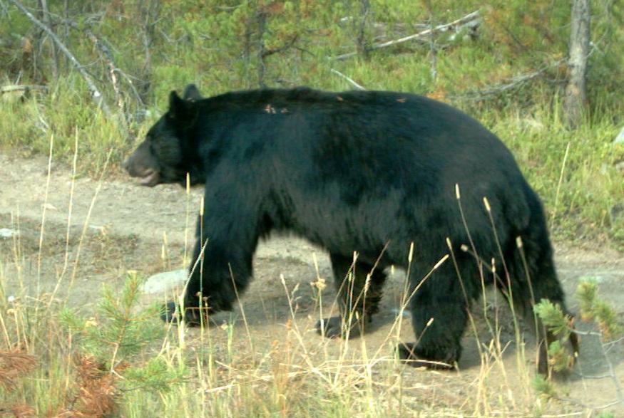 Black bear, 2017.