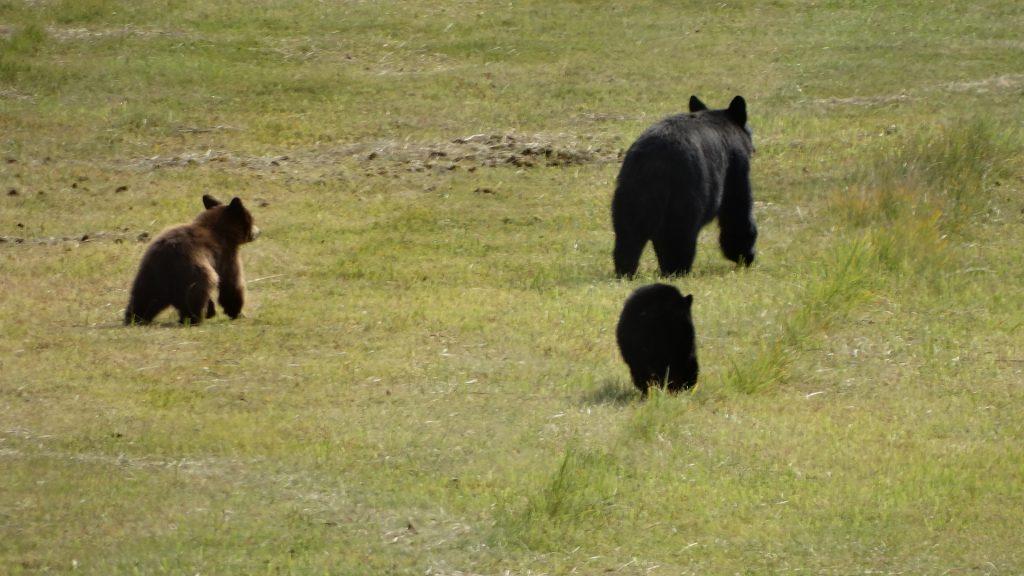 Black bears 2019.