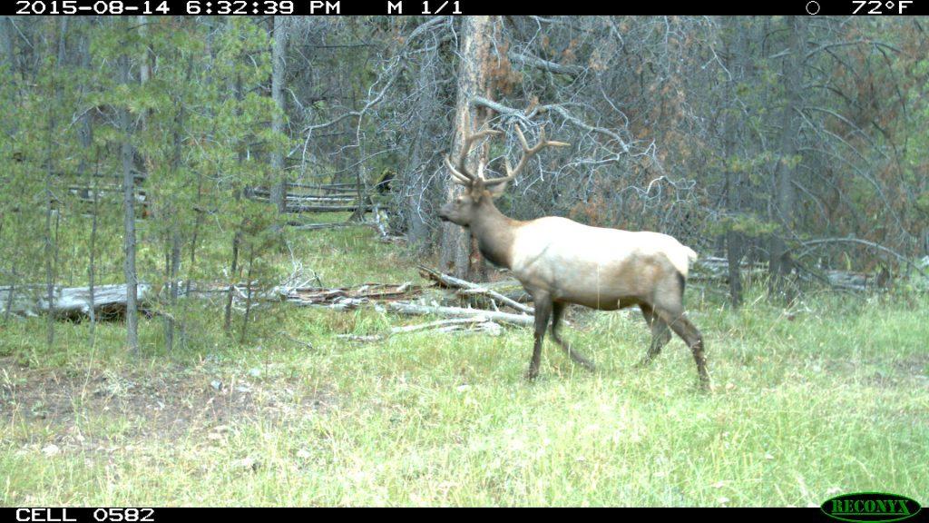 Elk, 2015.