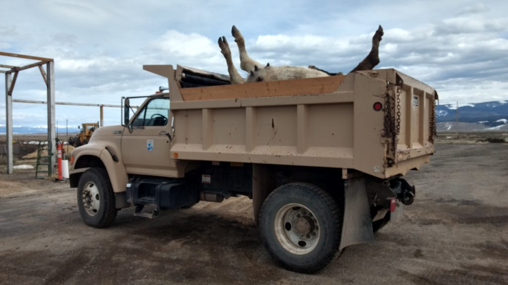 The carcass removal dump truck loaded to the brim.