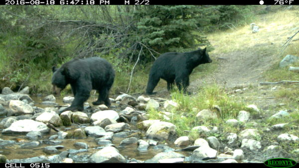 Black bears are common in the Big Hole watershed. While not as dangerous as Grizzlies, recreationists should still be aware of their presence and prepared for encounters.