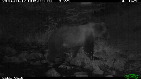 This grizzly bear was photographed crossing a stream in the Upper Big Hole in 2016.