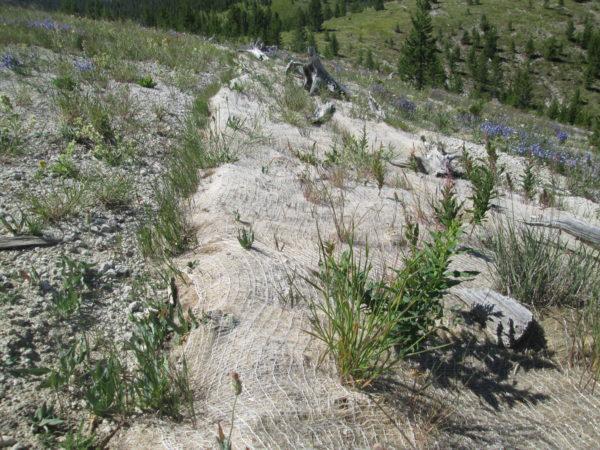 Grass and forb growth through coir erosion-control fabric